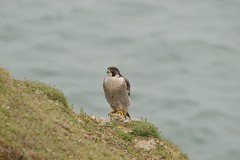 Peregrine Falcon (aadunne44) Tags: coast walk falcon swanage peregrine
