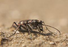 Bastaardzandloopkever - Northern dune tiger beetle (aaronmeijer2) Tags: macro canon insect photography eos wildlife beetle egmond bakkum wildlifephotography 450d noordhollandsduinreservaat