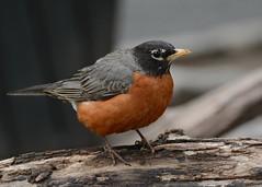 American Robin (JDA-Wildlife) Tags: birds nikon centralpark johnny americanrobin nikon70300mmf4556gifedafsvr nikond7100 jdawildlife