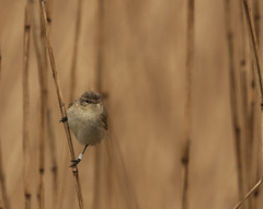 Tjiftjaf - Chiffchaff (aaronmeijer2) Tags: bird animal photography wildlife chiff chaff castricum ringed songbird banded wildlifephotography noordhollandsduinreservaat