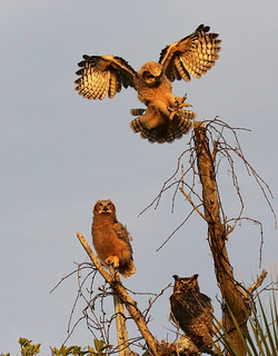 GHO Chick Landing with Parent & Sibling Watching at Sunset
