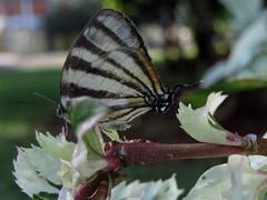 Borboleta (juciarapferreira) Tags: borboleta suavidade polimizao