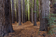 Californian Redwood Forest Warburton 2016-04-09 (6D_1160-2) (ajhaysom) Tags: melbourne redwood californian warburton canon1635l canoneos6d