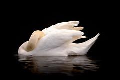 'Talia' (Jonathan Casey) Tags: river swan nikon f2 mute sleepingbeauty 200mm d810