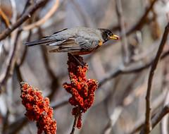 Having Lunch (vernonbone) Tags: birds nikon sigma 500mm eastpoint d3200 april2016