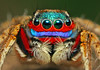 Mr.Rainbow (karthik Nature photography) Tags: color macro nature animals closeup forest canon garden photography spider spiders wildlife jumpingspider macrophotography salticidae macroworld animalworld spiderworld canonmt24ex insectphotography canonmpe65 macrolife malejumpingspider canon5dmark3 colorfuljumpingspider beautifuljumpingspider jumpingspidersinindia wwwkarthikeyanscom