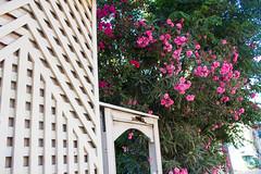 Gardens, Tel Aviv (marylea) Tags: gardens israel telaviv oleander 2015 may15 telavivyafo