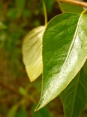 """""""Balsam""""-Ausscheidung der Bltter (Jrg Paul Kaspari) Tags: leaf spring bach stark blatt trier frhling 2016 populus duftend populusbalsamifera duftpflanze balsamifera balsampappel avelertal aveler"""