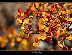 Fagus (vijayalayan) Tags: autumncolours tas deciduous fagus mtfield deciduousbeech discovertasmania