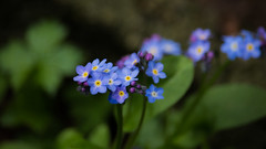 Unforgotten [16/30] (Explored) (Nomis.) Tags: flower canon eos rebel spring raw april forgetmenot day16 pictureaday lightroom 2016 forgetmenots 1630 700d canon700d canoneos700d t5i canonrebelt5i april2016 rebelt5i april2016challenge sk201604166386raweditlr sk201604166386