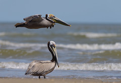 Photobombed (Happy Photographer) Tags: brown galveston bird beach gulfofmexico texas pelican flyby photobomb amyhudechek nikon200500mmf56