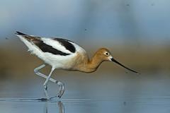 "American Avocet ""Recurvirostra americana"" (T-Gauthier) Tags: bird nature birds lowangle americanavocet avocet recurvirostraamericana earlymorninglight"