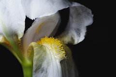 Hairy Tongue of the White Iris. (Joeweav) Tags: iris flower onelight sigma105mm nikond750