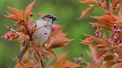 DSC_5875 (sylvettet) Tags: tree bird nature colors sparrow moineau 2016 nikond5100