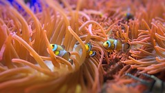 Finding Nemo (Angelino Alessio) Tags: ocean travel fish colour cute love nature beautiful three finding nemo clown vivid natura disney best clownfish genova pixar pesci acquario iphone amphiprion acquarius