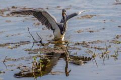 Tricolored Heron (Bill Varney) Tags: food fish bird heron water florida outdoor wildlife hunting meal wetlands avian wading tricolored billvarney