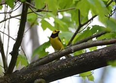 Hooded Warbler (av8s) Tags: nature birds photography newjersey nikon wildlife nj sigma warbler songbirds perchingbirds hoodedwarbler oldmineroad d7100 120400mm