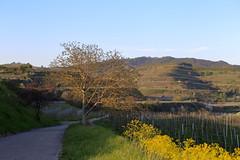IMG_1636 (D.Phil) Tags: am natur himmel baum blick kaiserstuhl weg blauer frhling weinberge ihringen