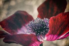 Red Anemone (deborahmoynihan) Tags: red flower macro closeup petals spring flora blossom anemone bloom tamron90mmf28macro fantasticflower nikond7200