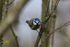 Here's looking at you (iiisecondcreep) Tags: colour cute nature fauna canon scotland spring wildlife feathers naturereserve bluetit rspb 300mmf4 cyanistescaeruleus baronshaugh scottishwildlife 70d gardenbird northlanarkshire kenkopro300dgx