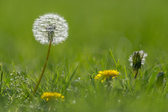 dandelions don't tell no lies (PhillymanPete) Tags: light white plant green philadelphia grass yellow backlight us spring weeds nikon glow unitedstates pennsylvania seed dandelion seedhead springtime glenfoerd d800e