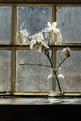 Magnolia (esmeecadoni) Tags: morning flowers light stilllife sunlight flower window nature netherlands backlight photography still europe bokeh sony indoor minimal simplicity magnolia simple minimalistic littlethings beautifulearth