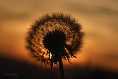 Lwenzahn beim Sonnenuntergang / Dandelion in the sunset (Explored...thank you so much!)  (Claudia Bacher Photography) Tags: sunset flower macro nature schweiz switzerland sonnenuntergang suisse blossom outdoor natur dandelion blume makro blte abendsonne abendstimmung lwenzahn sony7r