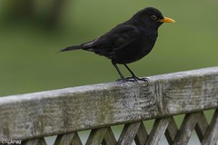 Schwarz-Gelb at home --5268 (clickraa) Tags: garten vogel bvb amsel gelbschwarz