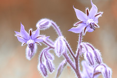 Wildflower Gloss (creyesk) Tags: flowers macro field germany spring soft pastel details kln wildflowers