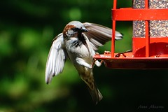 House Sparrow (Male) (--Anne--) Tags: nature flying inflight wildlife birdfeeder sparrow sparrows housesparrow