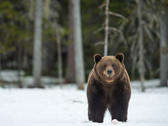 Large Male Brown Bear (hairyduck) Tags: bear brown male