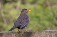 Female Blackbird (themadbirdlady) Tags: turdusmerula blackbird passeriformes turdidae commonblackbird southalloans8790