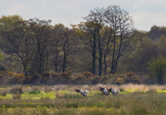 Catcott Lows-3665 (oldparson) Tags: crane glastonbury cranes tor somersetlevels catcott
