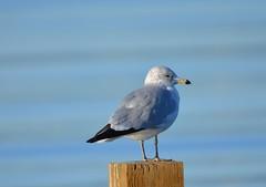 Ring-billed Gull (Immature 2nd Winter) (Neal D) Tags: bird bc seagull gull surrey crescentbeach ringbilledgull blackiespit larusdelawarenis