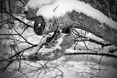 (Silverio Photography) Tags: winter blackandwhite snow abandoned nature photoshop canon lens blackwhite path newengland elements suburb pancake 24mm hdr topaz adjust massachuetts 60d