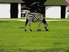 Zebra Hollywood safari park Germany 22nd September 2013 22-09-2013 08-41-43 (dennoir) Tags: park germany september safari hollywood zebra 22nd 2013 084354 22092013