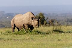 Rinoceronte-negro (dragoms) Tags: africa mammal kenya wildlife natureza rhino rinoceronte blackrhinoceros mamfero qunia dicerosbicornis rinocerontenegro olpejeta dragoms