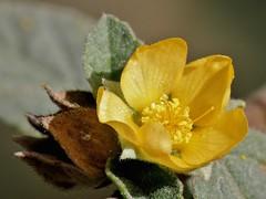 Malvastrum bicuspidatum (S. Wats.) Rose (carlos mancilla) Tags: flowers flores macrofotografa raynoxdcr250 olympussp570uz malvastrumbicuspidatumswatsrose