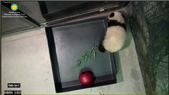 Let me just climb out and I'll be right with you (partipersian) Tags: ball bowl fans pandacub beibei