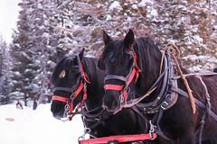 Giddy up! (hey ~ it's me lea) Tags: horses alberta lakelouise sleighride banffnationalpark