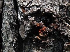Bark Like Lava (failing_angel) Tags: florida wetland esterobay fortmyers fortmyer sixmilecypressslough sixmileslough 240515 sixmilecypresssloughpreserve linearecosystem naturaldrainageway