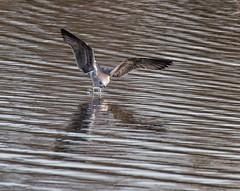 033a (64) (Baffledmostly) Tags: flying herringgull herringgul brandonmarsh