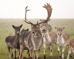 Dyrham Park (simon clare photography) Tags: park uk greatbritain family wild england mist southwest colour english nature animals digital rural photography nikon europe stag unitedkingdom wildlife somerset deer explore gb british roe dyrham simonclare d7200 simoncphotography sclarephoto