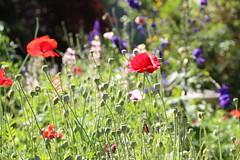 Summer Garden II (NZGandG) Tags: newzealand christchurch summer garden nz delphinium larkspur pergola hebe pittosporum papaverrhoeas remembrancepoppy