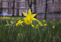 Signs of Spring: daffodil (Dai Lygad) Tags: camera flowers primavera nature fleur yellow closeup wales canon photo spring pretty bright image flor stock cymru picture photograph daffodil blume lente printemps daffodils narciso haru frhling vr wiosna narzisse suisen vesna   jonquille gwanwyn forr   kevt  musimbunga unefleur  cenhinenbedr  chntin  alnnarjusalbarri chuntn rab