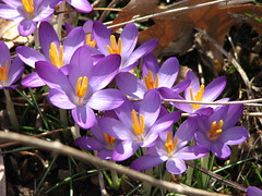 Snow Crocus (AmyWoodward) Tags: snowcrocus fantasticflower