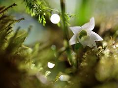 AngraecumFH5_0208_20160204_11_39 striatum (evideerf2002) Tags: orchid flower macro art nature floral fleur bokeh botanique flou flore angraecum orchideen iledelareunion wildorchid macrophotographie flowerphotography striatum mascareignes piphyte orchidesauvage