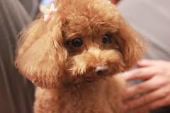 IMG_6642 (Tatsu.C) Tags: life dog holiday home 35mm canon hometown taiwan lifestyle sigma yilan 宜蘭 狗 老家 隨拍 doglife 回家 貴賓狗 s35 sigma35mm 紅貴賓 定焦鏡 canoneos550d