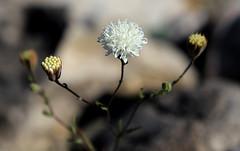 Pebble Pincushion, Death Valley (Bob Palin) Tags: california usa flower 1025fav canon desert 100v10f deathvalley pebblepincushion club100 100vistas instantfave canonef24105mmf4lisusm flowerpicturesnolimits ashotadayorso thepoweroftheflower orig:file=2016012704477