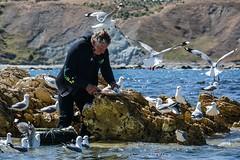 Lunch time for the gulls at South Bay (Hughsie36) Tags: sea newzealand man birds feeding gulls southbay kaikoura